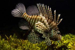 lionfish-711799_960_720